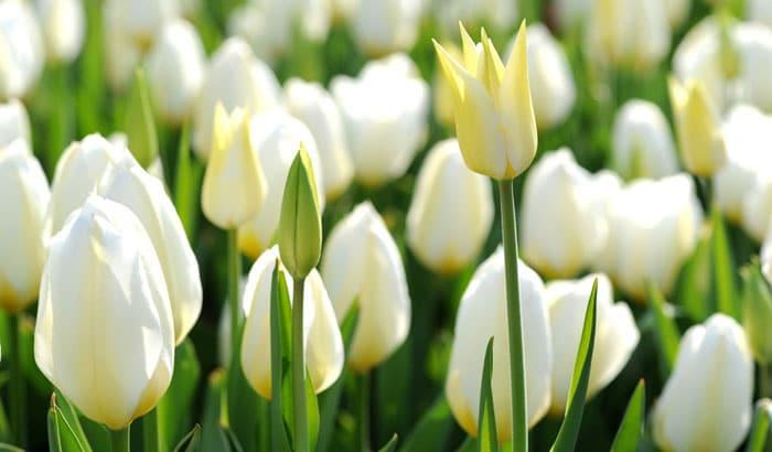 Kết quả hình ảnh cho Hoa tulip trắng lavender